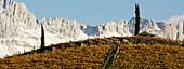 Vineyard with two cypresses, Rosengarten, Bozen, Dolomites, South Tyrol, Trentino-Alto Adige, Italy