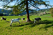 Young cattle grazing in the pasture, Alto Adige, South Tyrol, Italy