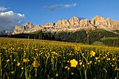 Meadow of buttercups, Rosengarten in the background, Dolomites, Alto Adige, South Tyrol, Italy