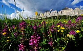 Meadow in blossom, summer in the mountains, Eggen valley, Karer pass, Alto Adige, South Tyrol, Italy