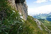 Edelweiss, Peitler Kofel, Nature Reserve Park Puez Geisler, Alto Adige, South Tyrol, Italy