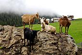 Heard of goats on the rocks,  Langtauferer valley, Alto Adige, South Tyrol, Italy