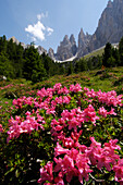 Rhododendron in blossom, Nature Reserve Park Schlern, Dolomites, Rosengarten, Alto Adige, South Tyrol, Italy