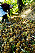 Older woman gathering sweet chestnuts, Etschtal, Vinschgau, Alto Adige, South Tyrol, Italy