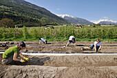 People harvesting asparagus, Vinschgau, Alto Adige, South Tyrol, Italy