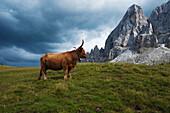 Scottish cattle in front of Wuerzjoch, Peitlerkofel, Dolomites, South Tyrol, Alto Adige, Italy, Europe