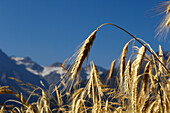 Ears of rye in the sunlight, Vinschgau, South Tyrol, Alto Adige, Italy, Europe