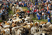 Cattle herd coming down from mountain pastures, Ritten, Rittner Horn, South Tyrol, Alto Adige, Italy, Europe