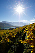 Vineyard at lake Kalterer See in the sunlight, Kaltern an der Weinstrasse, South Tyrol, Alto Adige, Italy, Europe