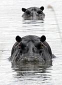 Hippo Pool Okavango Delta Botswana