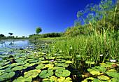Lily pads in a river, Okavango Delta, Okavango Delta, Botswana