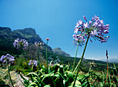 Purple flower in Kirstenbosch Botanical Gardens, Cape Town, South Africa