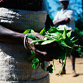 Detail of tea leaves in hands, Bandarawela, Sri Lanka