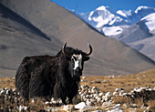 Yak in fields beneath Mt. Everest, Tibet.