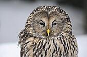 URAL OWL (STRIX URALENSIS), BAYERISCHER WALD NATIONAL PARK, GERMANY