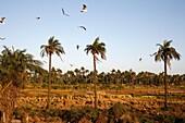 Sénégal, Kafountine, Casamance landscape