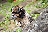 China, Yunnan province, Lijiang, stray dog