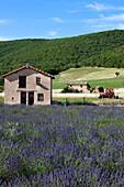France, Alpes de Haute Provence, near Simiane la Rotonde, lavender