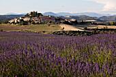 France, Alpes de Haute Provence, Entrevennes, lavender field