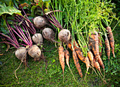 Close-up of freshly harvested carrots and beetroots