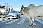 Holy cow on street, street scene in Noida, metropolitan area of Delhi, Uttar Pradesh, India
