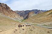 Pack animals and horsemen descending from pass Sirsir La to Photoksar, Zanskar Range Traverse, Zanskar Range, Zanskar, Ladakh, India