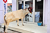Holy cow in front of entrance to restaurant with advertisement for free wi-fi, Agra, Uttar Pradesh, India