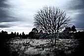Dead Tree in Arid Field, Arizona, USA