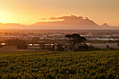 View onto vineyards of the winery Saxenburg towards Table Mountain at sunset, Stellenbosch, Western Cape, South Africa