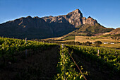 View onto the vineyards of Bellingham Winery with mountain-range Groot Drakenstein, Stellenbosch, Cape Town, Western Cape, South Africa, RSA, Africa