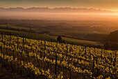 View onto the vineyards of Klein Constantia winery at sun-rise, Constantia, Cape Town, Western Cape, South Africa, RSA, Africa