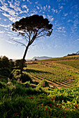 View onto the vineyards of Kleinconstantia winery at sun-rise, Constantia, Cape Town, Western Cape, South Africa, RSA, Africa