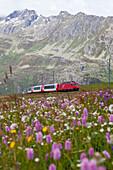 Glacier Express passing a flowering meadows at Naetschen station between Andermatt and Oberalppass, Urseren valley, Uri, Switzerland