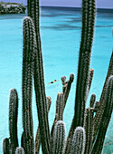 Man swimming off Knip Bay beach with cacti in foreground, Knip Beach, Curacao