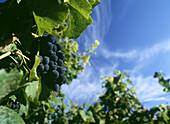 Purple grapes on vine in vineyard, Grand Cru vineyards of La Romanee Conti, Burgundy, France
