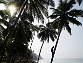 Silhouetted man climbing a palm tree to pick coconuts, Varkala, Kerala, South India