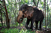 Indian elephant in a forest, Kerala, Indian elephant (Elephas maximus indicus), Kerala, India.