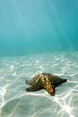 Starfish underwater in Discovery Bay, Jamaica