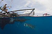 Whale Shark underneath Fishing Platform called Bagan, Rhincodon typus, Cenderawasih Bay, West Papua, Papua New Guinea, New Guinea, Oceania