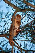 Common Spotted Cuscus in Tree, Spilocuscus maculatus, Cenderawasih Bay, West Papua, Indonesia
