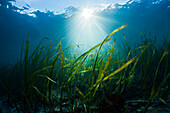 Seagrass Meadows, Cenderawasih Bay, West Papua, Papua New Guinea, New Guinea, Oceania