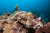 Beauforts Crocodilefish, Cymbacephalus beauforti, Cenderawasih Bay, WestPapua, Papua New Guinea, New Guinea, Oceania