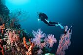 Scuba Diver over Coral Reef, Cenderawasih Bay, WestPapua, Papua New Guinea, New Guinea, Oceania