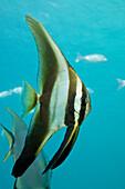 Juvenile Longfin Batfish, Platax teira, Cenderawasih Bay, WestPapua, Papua New Guinea, New Guinea, Oceania