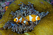 Clown Anemonefish in Magnificent Sea Anemone, Amphiprion ocellaris, Heteractis magnifica, Cenderawasih Bay, WestPapua, Papua New Guinea, New Guinea, Oceania