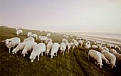 Sheep on a dike, East Frisian Wadden Sea, East Friesland, North Sea, Lower Saxony, Germany, Europe