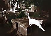White cat on a tombstone, Devon, Southern England, Great Britain, Europe