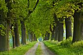Oak alley in idyllic landscape, Hofgeismar, Hesse, Germany, Europe