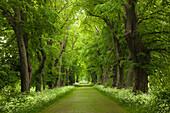 Idyllic lime tree alley, Greifswald, Mecklenburg-Western Pomerania, Germany, Europe