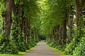 Idyllic lime tree alley, Neumuenster, Schleswig-Holstein, Germany, Europe